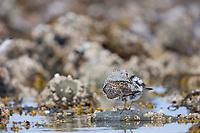 Surfbirds, Prince William Sound, Alaska.