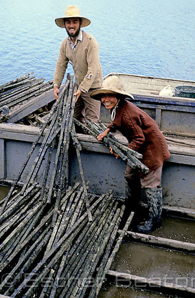 Oyster farmers (Australian man with oriental wife) laying out sicks with spatfall for maturing. Narooma, New South Wales
