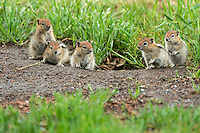 Family of Golden-mantled Ground Squirrels, Oregon