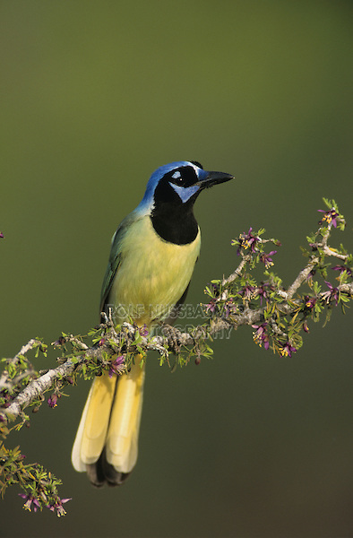 Green Jay, Cyanocorax yncas,adult on blooming Guayacan (Guaiacum angustifolium) , Starr County, Rio Grande Valley, Texas, USA