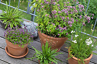 Wildkräuter in Töpfen, Topf, Blumentopf, Oregano, Schafgarbe, Thymian, Spitz-Wegerich in Blumentöpfen auf einem Balkon,  flower pot, garden pottery, plant pot. Feld-Thymian, Feldthymian, Wilder Thymian, Thymian, Quendel, Feld-Sandthymian, Arznei-Thymian, Arzneithymian, Thymus pulegioides, Sammelart Thymus serpyllum, Wild Thyme, Sand Thyme, Thym serpolet, Breckland thyme, Breckland wild thyme, creeping thyme, elfin thyme, Le serpolet, thym serpolet. Wilder Dost, Echter Dost, Gemeiner Dost, Oreganum, Origanum vulgare, Oregano, Wild Marjoram, L'origan ou origan commun, marjolaine sauvage, marjolaine vivace. Gewöhnliche Schafgarbe, Wiesen-Schafgarbe, Schafgabe, Achillea millefolium, yarrow, Common Yarrow, Achillée millefeuille, la Millefeuille. Spitzwegerich, Wegerich, Plantago lanceolata, English Plantain, Ribwort, narrowleaf plantain, ribwort plantain, ribleaf, le Plantain lancéolé, Plantain étroit