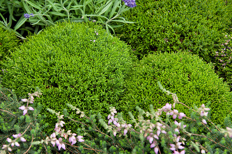 Clipped domes of heather, Heathers in Harmony, Show garden, designed by Will Quarmby, Hampton Court Flower Show 2011.
