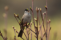 Golden-Crowned Sparrow, Southcentral Alaska.