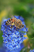 A honey bee on a Ceanothus flower