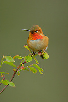 Male Rufous Hummingbird sitting in red huckleberry bush.  Pacific Northwest.  Spring.