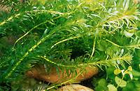 Wasserpest, Elodea spec., Waterweed