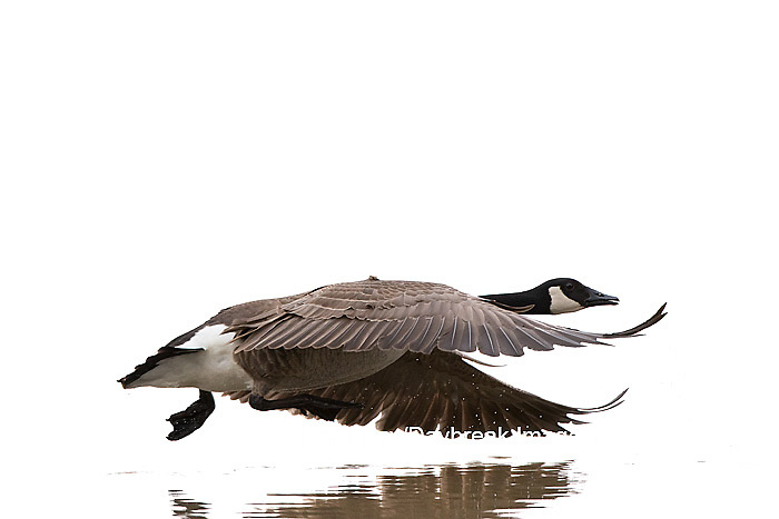 30000-00109 Canada Goose in flight (Branta canadensis) on white background,  Marion Co., IL