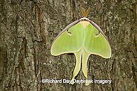 04000-002.10 Luna Moth (Actias luna) Marion Co. IL