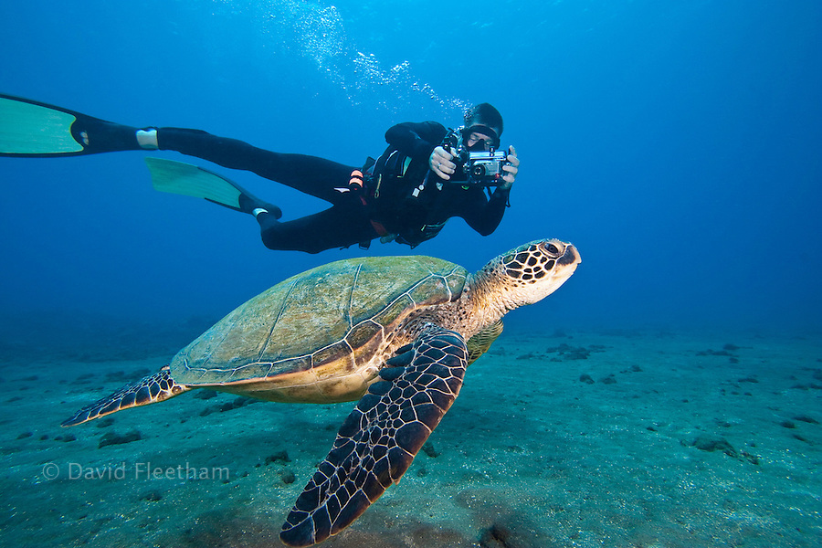 An endangered species, green sea turtles, Chelonia mydas, are a common sight around Hawaii.  The diver/photographer is model released.