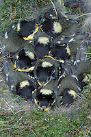 Tannenmeise, Tannen-Meise, Meise, Nest, Gelege mit Küken, Parus ater, Periparus ater, coal tit, La Mésange noire