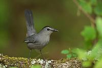 Gray Catbird (Dumetella carolinensis), adult, South Padre Island, Texas, USA