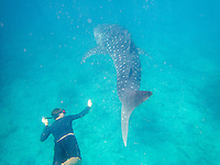 Maldives, Rangali Island. Conrad Hilton Resort. Swimming with whale sharks, the biggest fish in the sea.