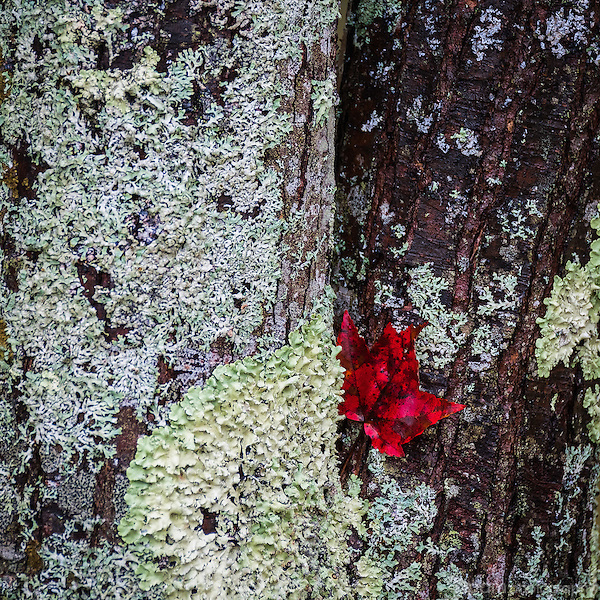 Single red leaf stuck at the base of a moss covered tree