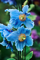 Originating from China, the striking blue flowers of the Blue Himalayan Poppy, Meconopsis betonicifolia, live up to their exotic name