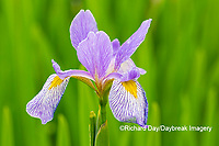 63899-05510 Blue Flag Iris (Iris versicolor) in wetland Marion Co. IL