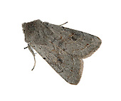 Lead-coloured Drab - Orthosia populeti