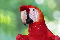 scarlet macaw, Ara macao, Amazonas, Brazil, South America