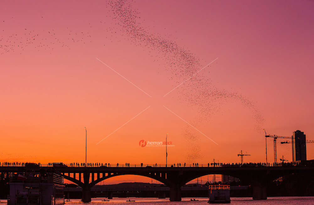 Bat enthusiasts love to take in an evening view of bats in Austin as one of the many local Austin, Texas attractions. Simply put, people are batty for Austin's world-renowned Mexico free-tailed bats and their night flight of 60-plus miles per hour and 2-mile high flight patterns, and feeding frenzy of Austin insects. Thanks to Lady Bird Lake, formerly Town Lake, circa 1980 renovations making a home for the bats in Austin, Texas, Congress Avenue Bridge, also known as the Ann W. Richards Congress Avenue Bridge, bats put on a nightly spectacular show of dynamic aerial flight typically lasting 45 to 60 minutes long. Whether attending the Austin Bat Festival, a visiting tourist, or a Keep Austin Weird local, bats in Austin under the South Congress Bridge entertain and amaze all walks of life, from the youngest to the oldest.