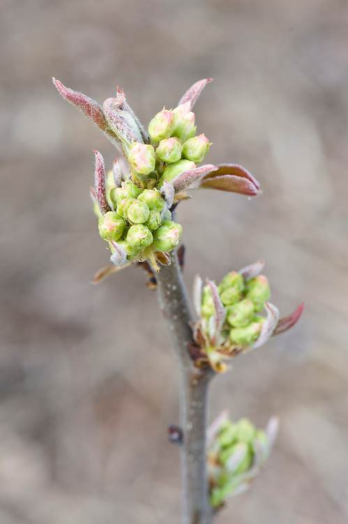Buds breaking in spring on Asian pear 'Nijisseiki', late March.