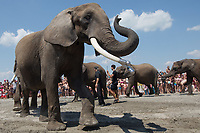 Elephant bath in Lake Balaton 2018