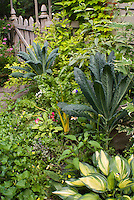 Dinosaur Kale vegetable Lacinato with  rainbow chard yellow, Hosta June, Abutilon, variegated Weigela, Humulus lupulus aureus, picket fence, Salvia officinalis sage herb, Echinacea, zinnia, Buddleia davidii variegated, stone path, spireaea