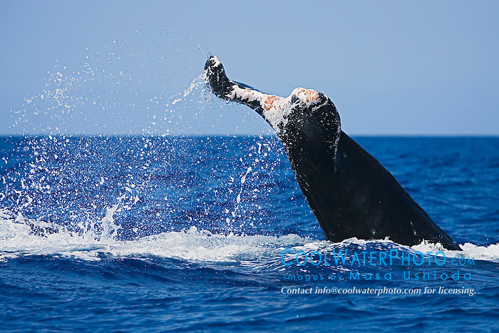 Humpback Whale with severely injured fluke (due to entanglement with heavy fishing gears or a boat strike?), Megaptera novaeangliae, Hawaii, Pacific Ocean.