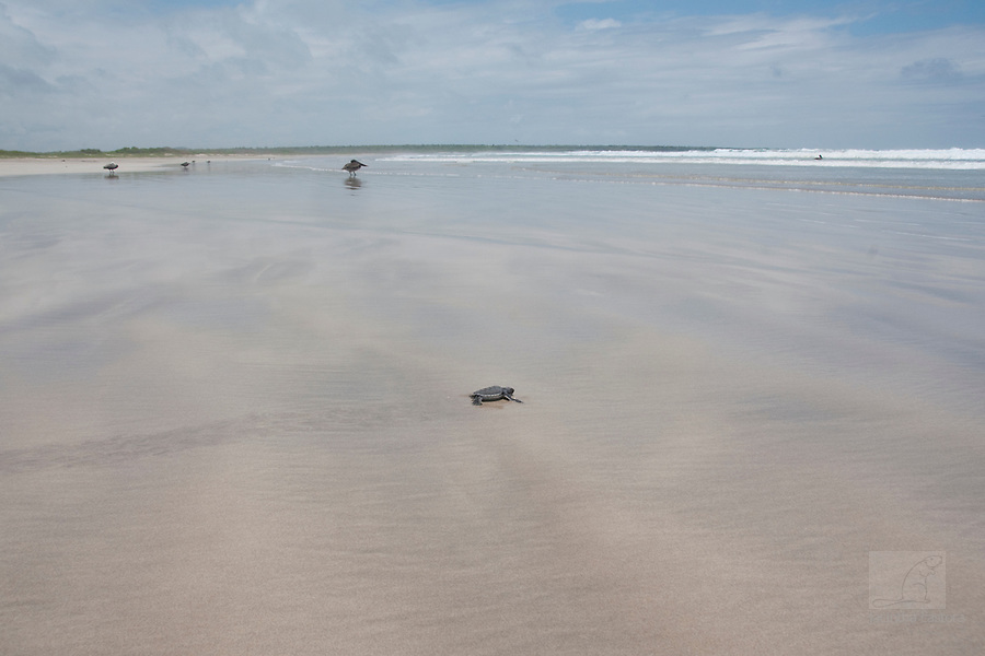this baby sea turtle makes its first trip to the sea. It is a dangerous trip, because frigatebirds are flying over and young sea turtle is on their menu.