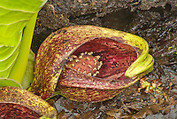 Skunk Cabbage is one of the first plants to emerge in the Spring, shown here close up is the Spathe, Spadix and flowers.