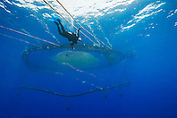 scuba diving worker and floating fish pen installed in open ocean just off Kona Coast to raise Kona Kampachi, Hawaiian yellowtail, aka almaco jack or kahala, Seriola rivoliana, Kona Blue Water Farms, Big Island, Hawaii, Pacific Ocean