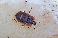Glanzkäfer, Omosita depressa, Glanzkäfer, Nitidulidae, Sap-feeding Beetle, pollen beetle, Sap Beetle, pollen beetles