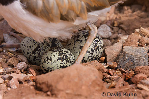 0510-1110  Killdeer, Adult Cooling Eggs in Hot Summer Sun by Shading the Eggs, Charadrius vociferus  © David Kuhn/Dwight Kuhn Photography