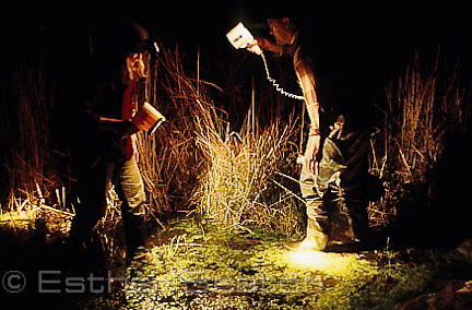 Researchers looking for Green and Golden Bell Frogs at night in reeds, Broughton Island, Myall Lakes National Park, New South Wales