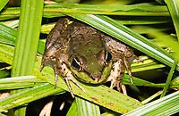 Vaillant's Frog, Lithobates vaillanti (formerly Rana vaillanti), at La Selva Biological Station, Costa Rica