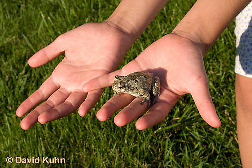 0720-0901  Eastern Gray Treefrog (Grey Tree Frog) Being Held by Curious Child in Hands, Hyla versicolor  © David Kuhn/Dwight Kuhn Photography