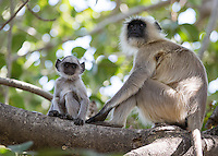 A baby gray langur hangs out with mom.