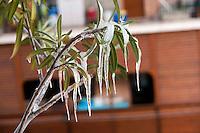 Roma 5 Febbraio 2012.Nevicata a Roma, una pianta di oleandro ghiacciata .Snowfall in Rome, a plant of oleander with ice..Rome 5rd February 2012