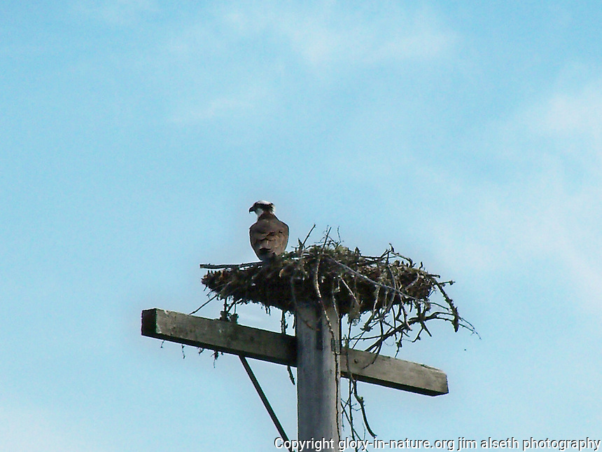 Osprey in nest on the shore of Cross Lake Alberta.