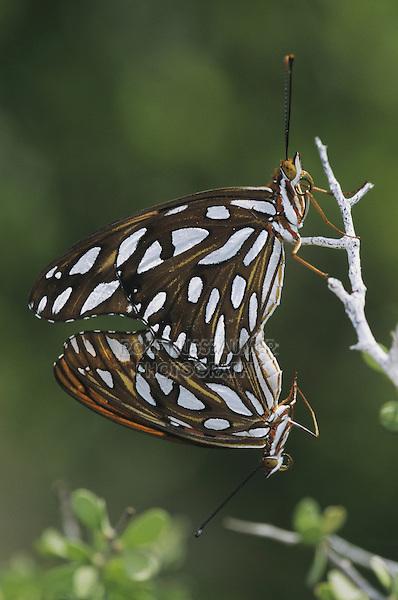 Gulf Frittilary (Agraulis vanillae), pair mating, Starr County, Rio Grande Valley, Texas, USA