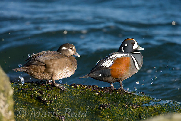 Harlequin Ducks (Histrionicus histrionicus) male (R) and female perched on a rock, Barnegat Inlet, New Jersey, USA