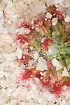 Pygmy drosera, Drosera eneabba.Wildflower country. Eneabba, Western Australia.
