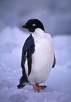 Adelie Penguins Pygoscelis adeliae. King George Island Antarctica.