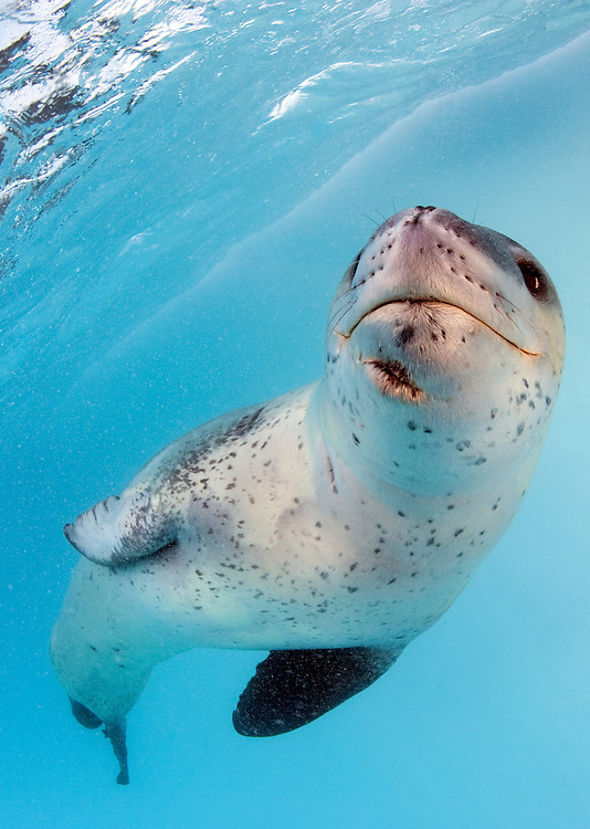 Facial view of a Leopard seal (Hydrurga leptonyx) during a close encounter, Astrolabe Island, Antarctica, seal has large scar under the jaw
