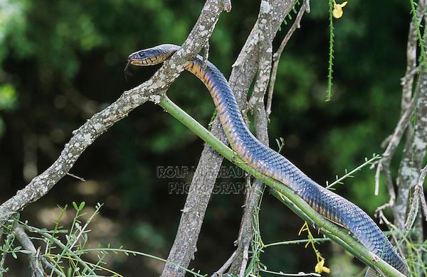 Texas Indigo Snake, Drymarchon corais erebennus, adult climbing Retama tree (Parkinsonia aculeata), Cameron County, Rio Grande Valley, Texas, USA