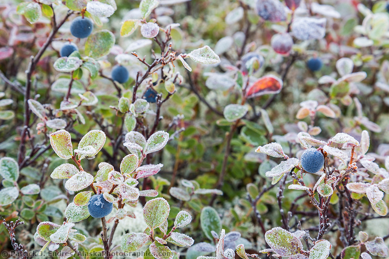 Morning frost coats the leaves of blueberry plants on the tundra in Denali National Park, Alaska.