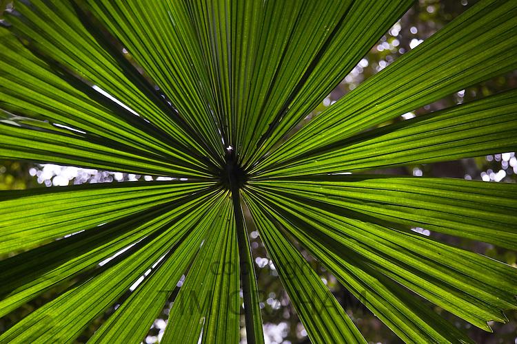 Fan Palm in the Daintree Rainforest, Northern Queensland, Australia