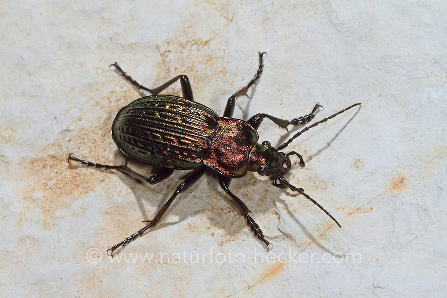 Ullrichs Laufkäfer, Robuster Laufkäfer, Carabus ullrichi, Eucarabus ullrichi, copper ground beetle
