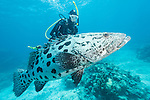 Cod Hole, Great Barrier Reef, Australia; a scuba diver swimming with a potato grouper in blue water over the reef