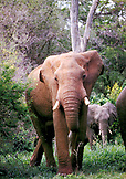 BOTSWANA, Africa, Chobe National Park and Game Reserve, Adult Elephant and calf
