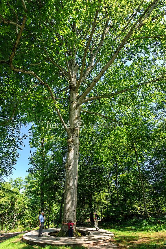 France, Jura (39), Arbois, forêt d'Arbois, hêtre Président ou Foyard Président, un arbre remarquable (Fagus sylvatica, 3,61m de circonférence à ± 1m de haut) // France, Jura, Arbois, Arbois forest, President beech, remarkable tree