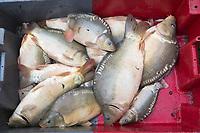 Europe/France/Centre/41/Loir-et-Cher/Sologne/env de Romorantin-Lanthenay: Pêche d'un étang  - Carpes<br /> Auto N°:2012-4110 , Auto N°:2012-4111 , Auto N°:2012-4112 , Auto N°:2012-4113<br /> // Europe/France/Centre/41/Loir-et-Cher/Sologne/Near Romorantin-Lanthenay: Fishing pond - common carp<br /> Auto N°:2012-4110 , Auto N°:2012-4111 , Auto N°:2012-4112 , Auto N°:2012-4113